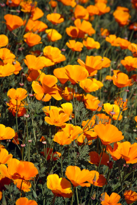 slaapmutsje-california-poppy