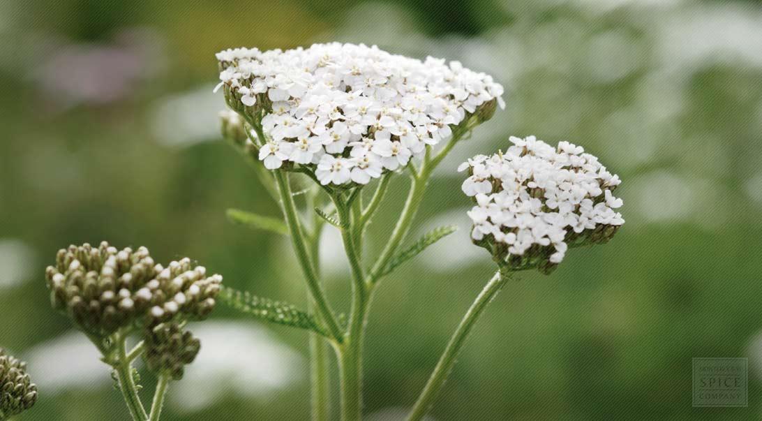 yarrow flower - photo #4