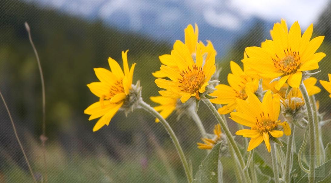 Arnica Flower For Healing Wounds Buy Bulk Arnica Flowers