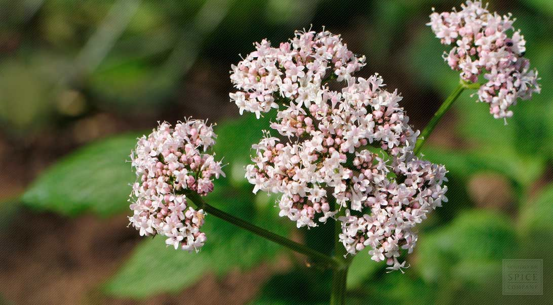 how to take valerian root