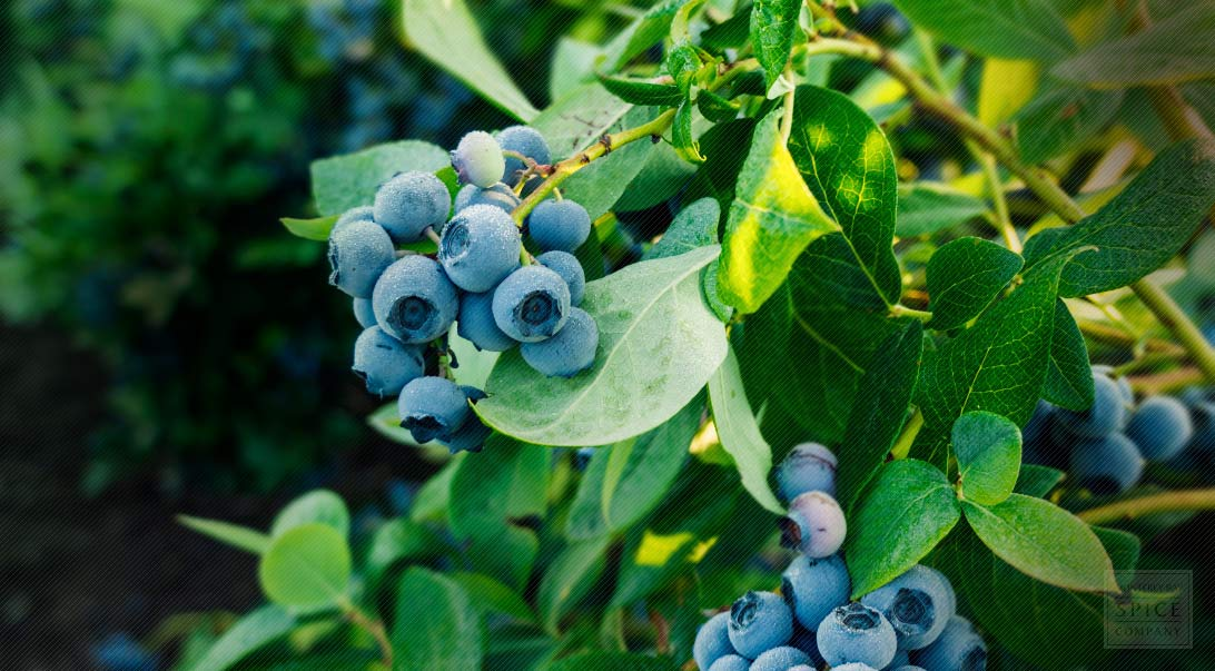 Blueberry Leaf Medicinal Properties And Blueberry Leaf Tea
