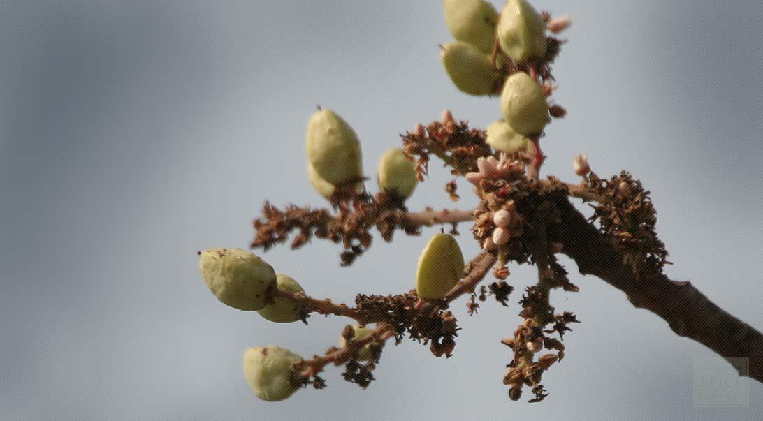 Boswellia Serrata History And Boswellia Medicinal Uses