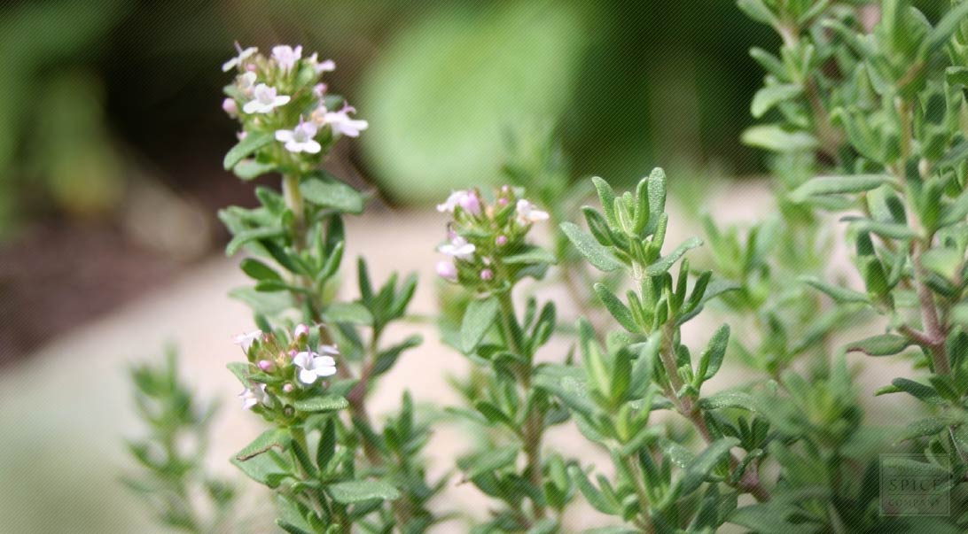 Thyme Cooking Used Cough Remedy Bulk