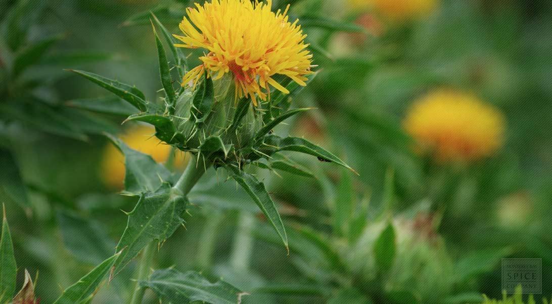 Boosting Your Health With Safflower Buy Bulk Safflower