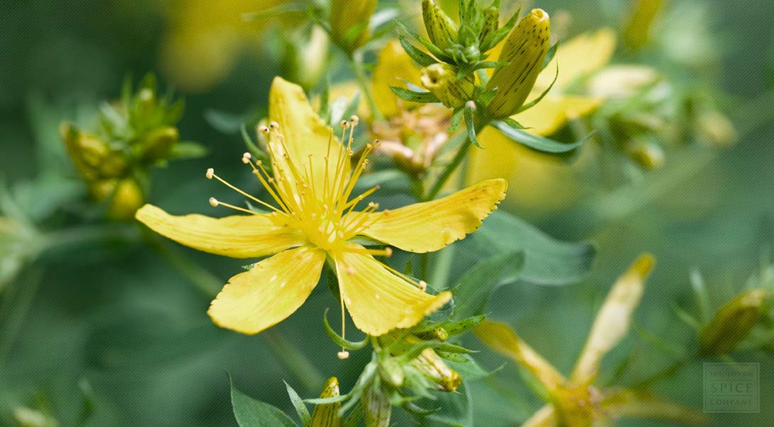St. Johns Wort Herb and St. Johns Wort for Healing