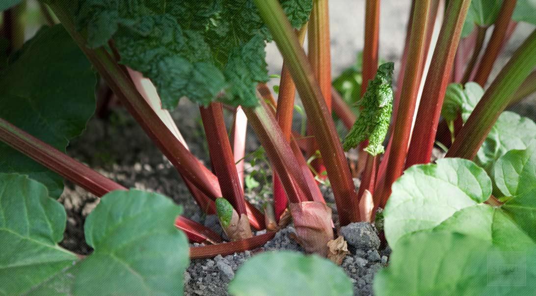 Bulk Rhubarb