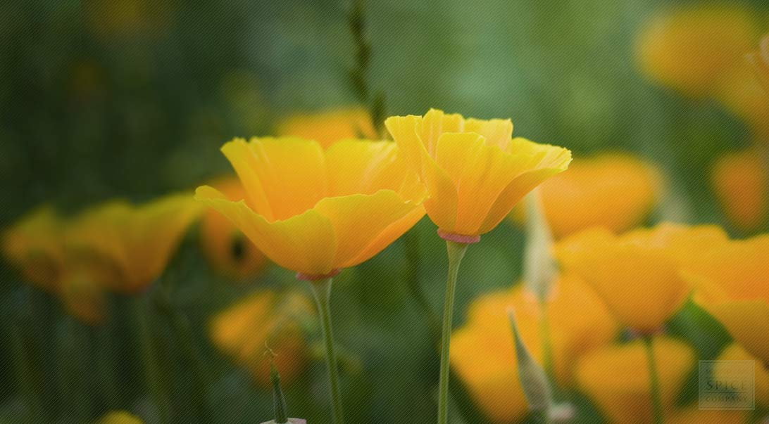 California poppy plant habitat and california poppy plant bulk herbs california poppy mightylinksfo