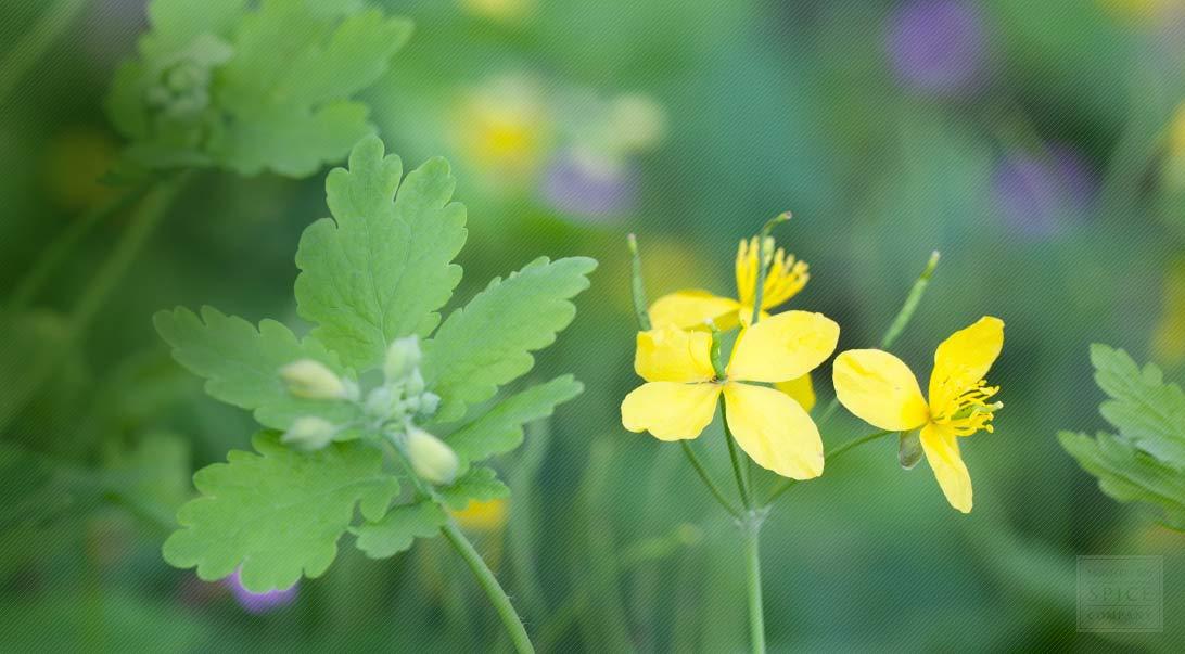 celandine growth habitat and celandine herbal tea