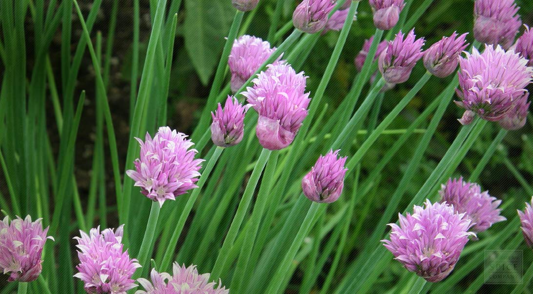 Chive Flowers Used To Flavor Breads Buy Bulk Chives