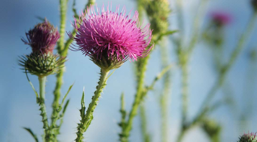 Organic Rescuing Your Liver With Milk Thistle Buy Bulk