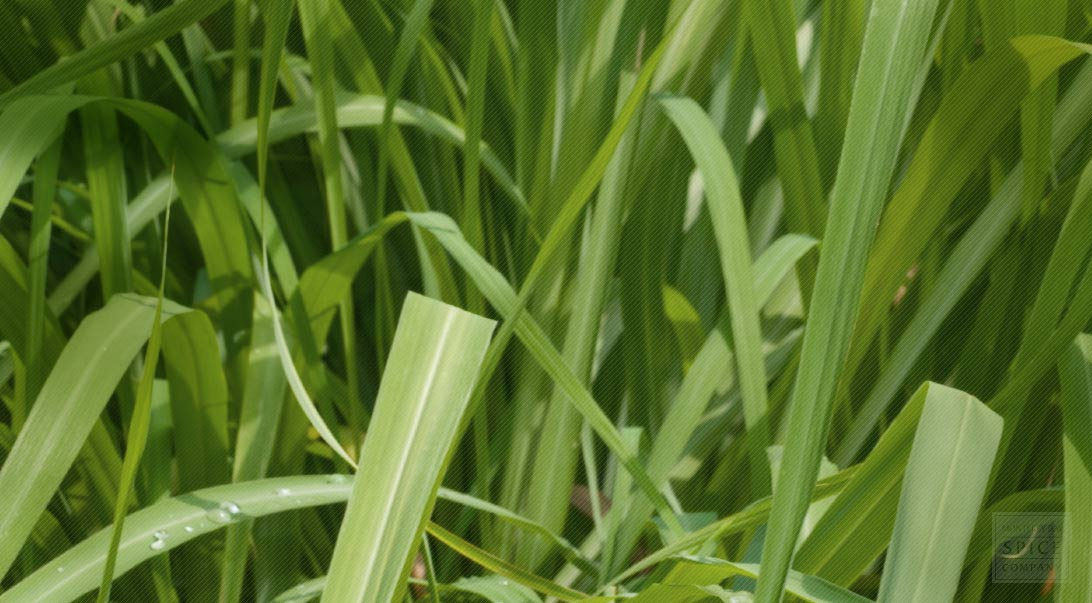 utilization of lemon grass This oil is also known as java citronella and has a fresh, powerful, lemon like appearance to lemon grass and palmarosa but plant for utilization of sodic.