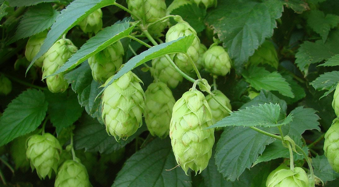 Hops More Than Just An Ingredient In Beer Bulk Hops