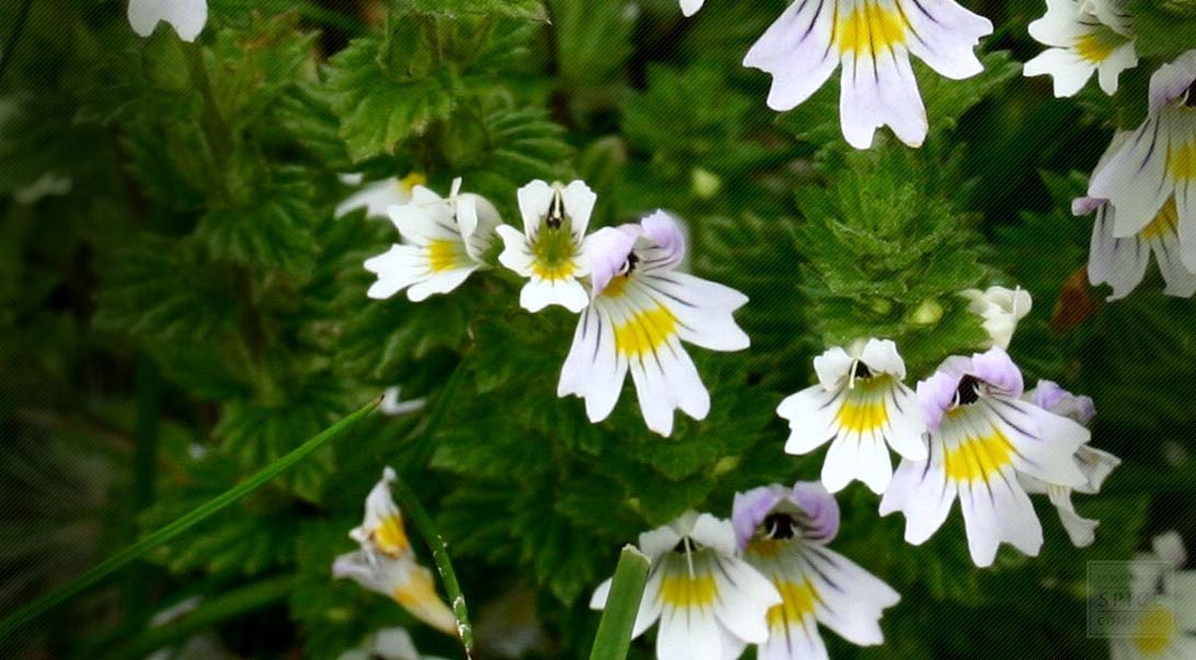 Eyebright for the eye buy bulk eyebright