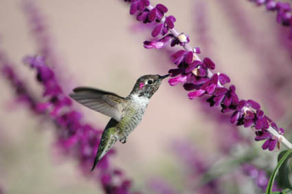 Hummingbird Gardens Herbs And Flowers For Hummingbirds