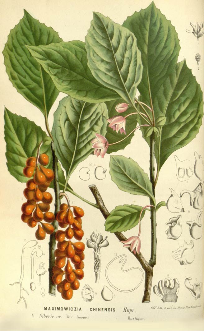 Monterey Bay Spice Co Schizandra Plant
