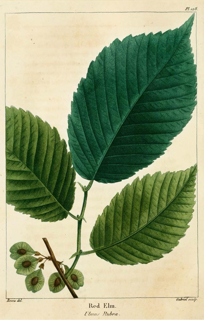 Slippery elm bark where to buy
