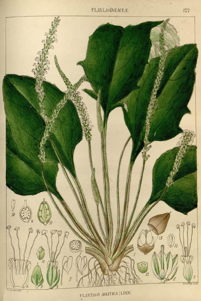 psyllium seed psyllium husk and healing with psyllium