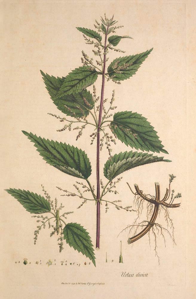 [Image: c-285-nettle-a-bit-of-botany.jpg]