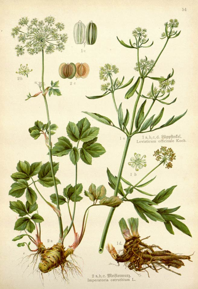 Monterey bay spice co lovage kao ben - Tips planting herbs lovage parsley dill ...