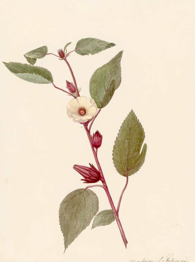 Hibiscus Sabdariffa Medicinal Properties And Hibiscus Tea Benefits