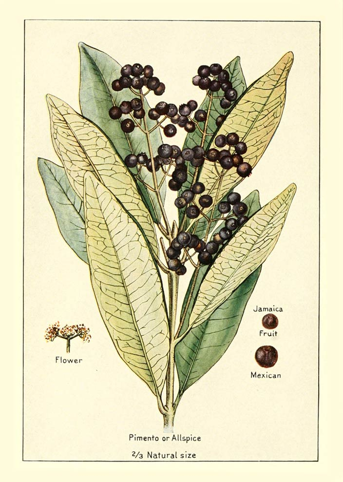 Bulk Allspice and the Healing Powers of Allspice and Eugenol