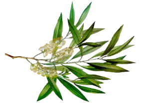 [ tea tree essential oil ] ~ from Monterey Bay Spice Company