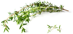 [ thyme essential oil ] ~ from Monterey Bay Spice Company
