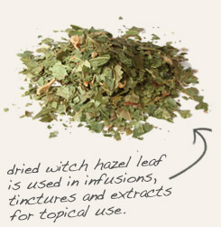 [ witch hazel tip: Tincture chaparral leaf with witch hazel to produce a topical antiseptic and astringent.   ~ from Monterey Bay Spice Company ]