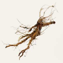 [ Info: Dandelion Root ] ~ from Monterey Bay Spice Company